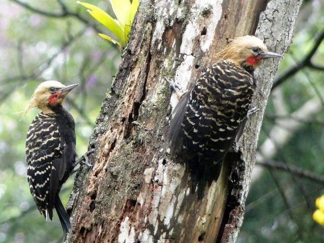 Палевохохлый дятел входит в список птиц Аргентины.