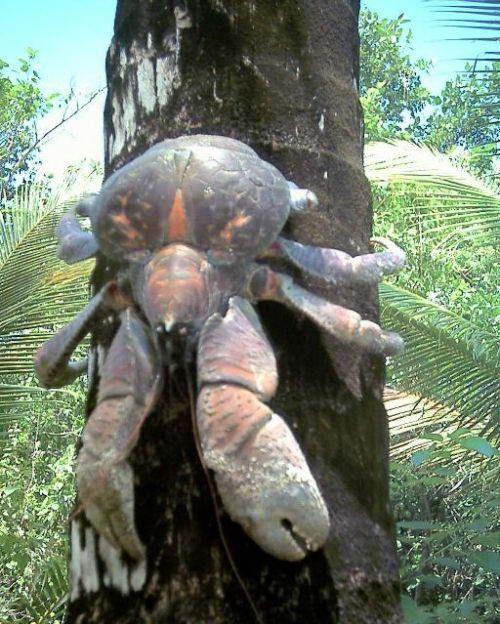 Пальмовый вор (birgus latro) или кокосовый краб