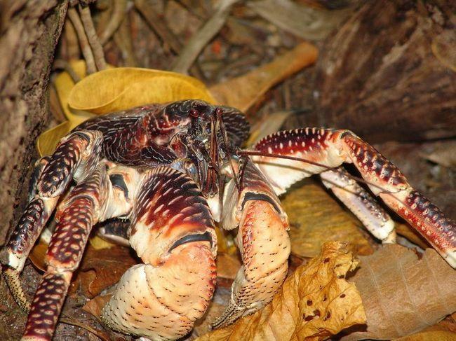 Kokos rakova ili kokos rakova (Birgus Latro).