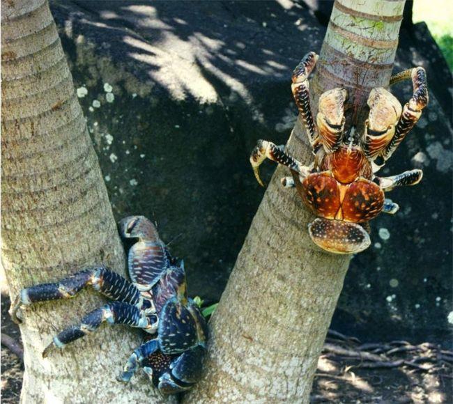 Kokos rakove - odlično dart žabe.
