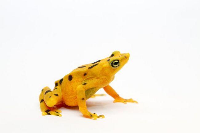 Panamskom zlatna žaba (Panamski Golden Frog)