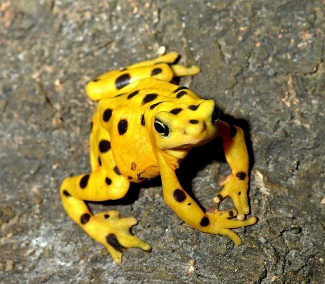 Панамская золотая лягушка (Panamanian Golden Frog)