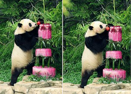 PandaTay Shan slavi svoj četvrti rođendan