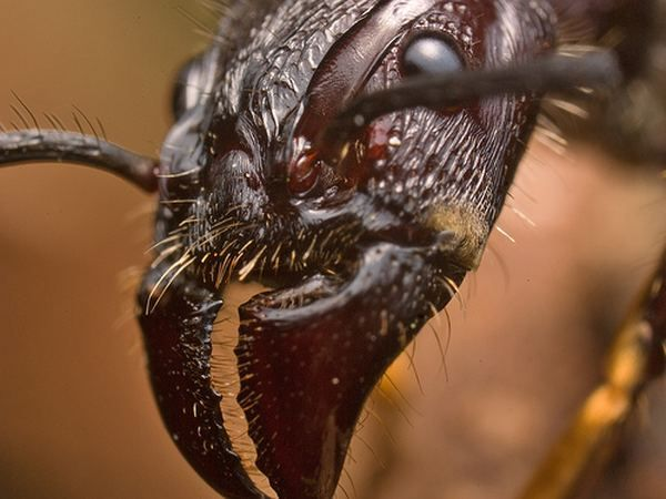 Paraponera clavata, или муравей-пуля
