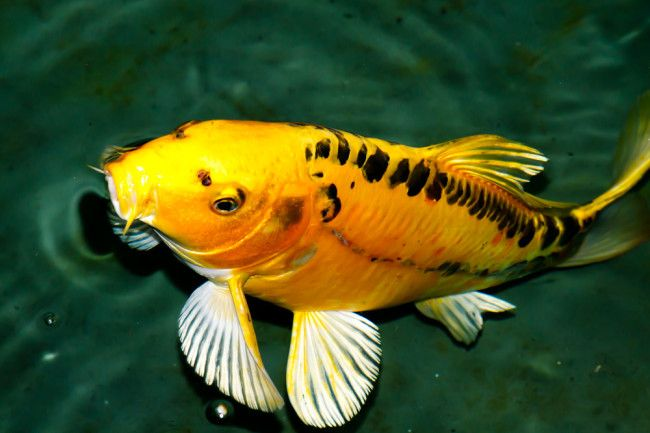 Yellow submarine koi.