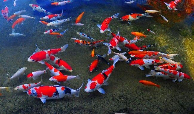 Japonský koi ryby.