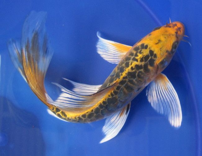 Butterfly koi ryby.
