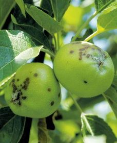 jabuke krasta