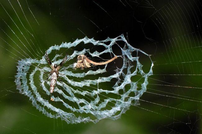 Spider Cyclosa ginnaga schovává před dravci maskující se jako ptačí trus