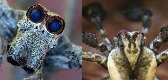 Spider gladiátora Deinopis subrufa (lat. Deinopis subrufa)