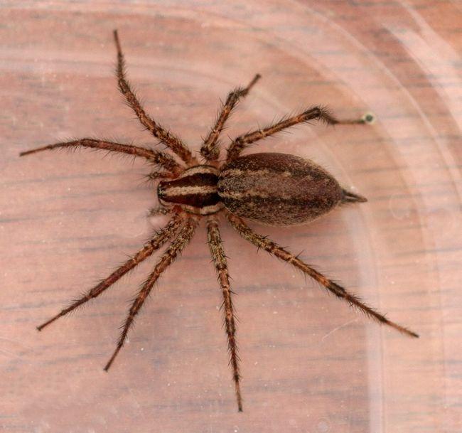 Brown samotář spider
