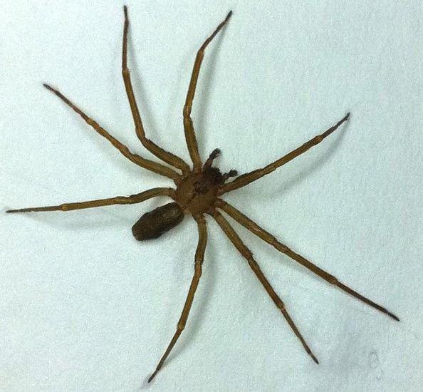 Mužský pavouk samotář