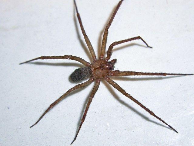 California relativní samotář spider