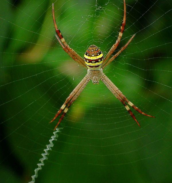 Jedním z pavouků argiop- jasně viditelné klikaté tlustý vlákno tkané do sítě