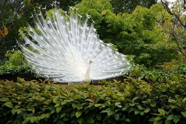 За длительную историю среди домашних павлинов была выведена белая порода
