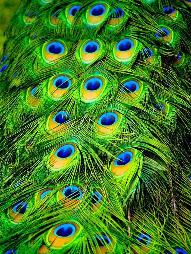 Глазчатые перья хвоста