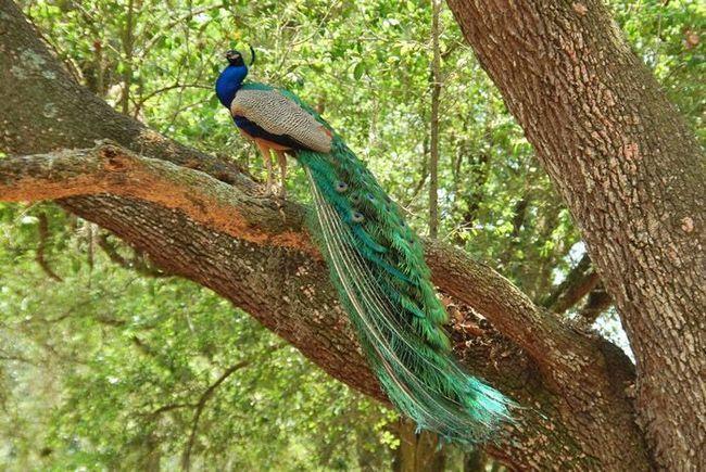 Павлины часто садятся на нижние ветки деревьев.