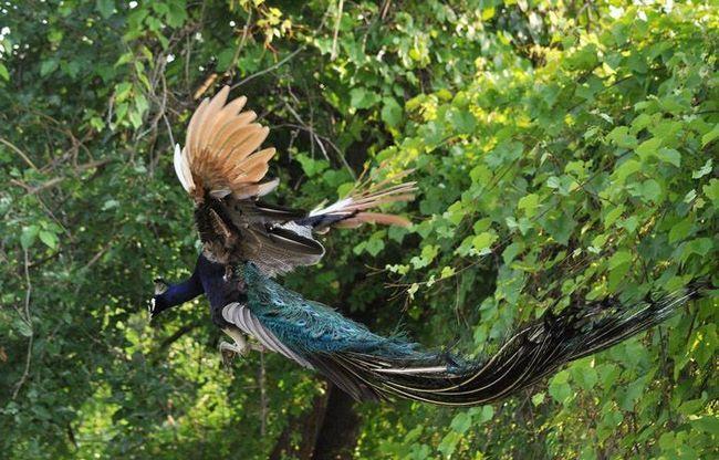В случае опасности павлины взлетают, хотя полет у них непродолжительный, как у всех куриных птиц