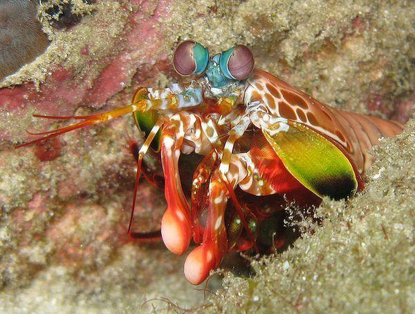 Рак-богомол роскошный (Odontodactylus scyllarus) с подогнутыми конечностями-булавами