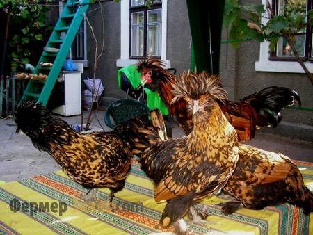 Павловская порода кур — украшение вашего хозяйства