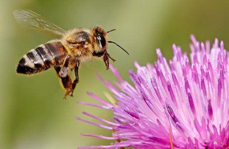 pchela-sobiraet-nektar