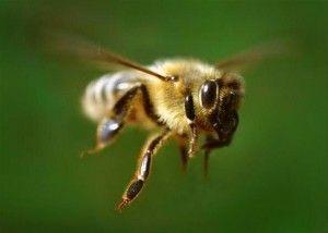 Пчеловодство для начинающих или как стать успешным пчеловодом!