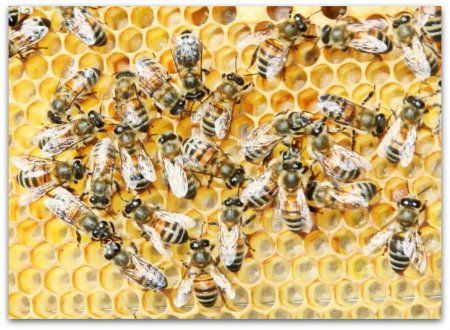 Пчелы породы бакфаст