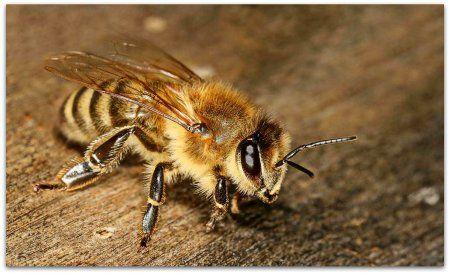 Пчелы породы карника