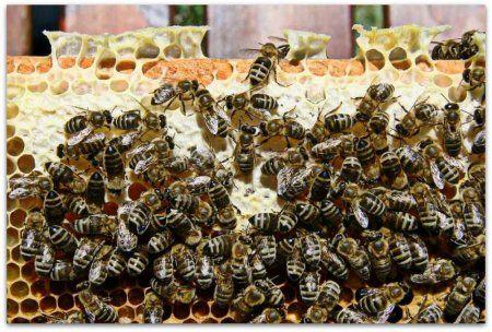 Včely Karnik plemeno