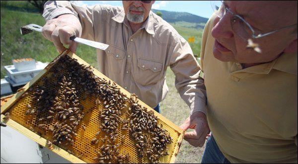 Пчёл убивает связка грибка и вируса