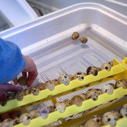 Инкубация яиц перепелов в домашних условиях