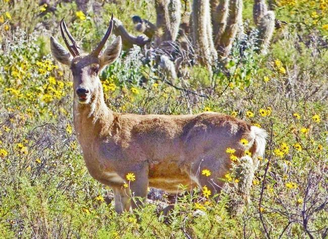Перуанский олень (Hippocamelus antisensis).