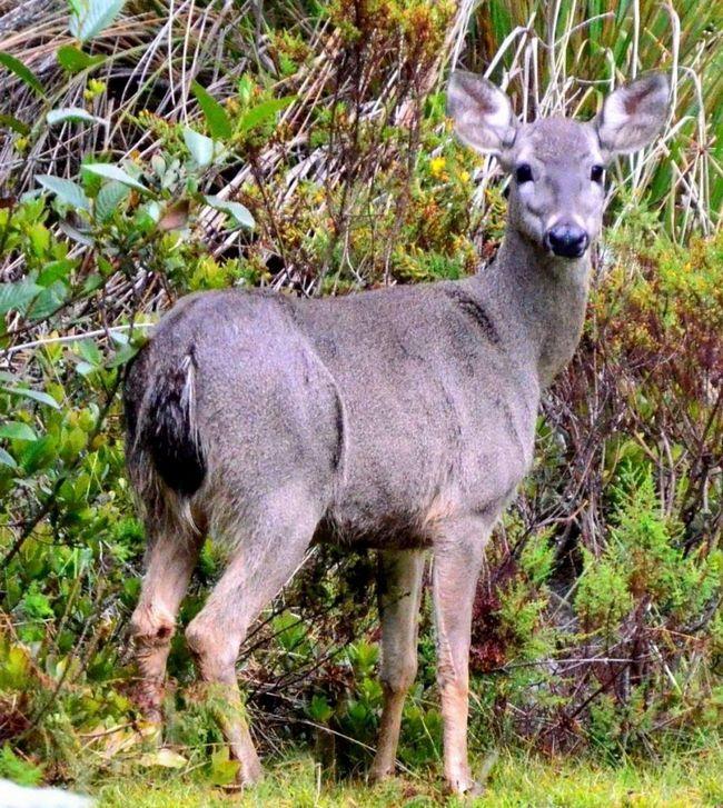 У перуанского оленя жесткий и густой мех.