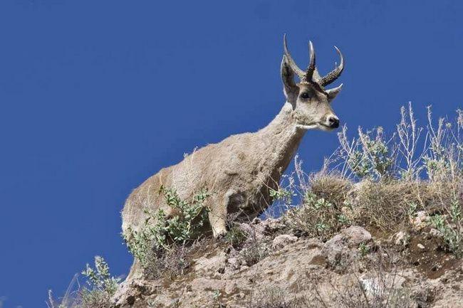 В Аргентине на низких высотах перуанский олень распространяется во влажных лесных полосах.
