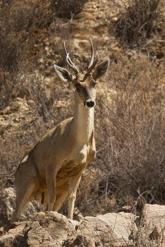 Районы распространения перуанского оленя являются слишком специализированными.