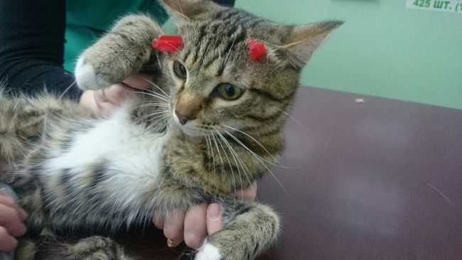 Pervouralsk žrtva pucao sa samostrelom postala obična kućna mačka.