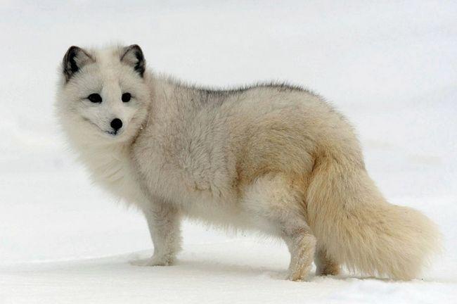 Песец, или полярная лисица