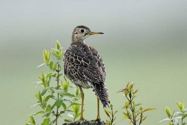 Птица названа в честь американского натуралиста Уильяма Бартрама.