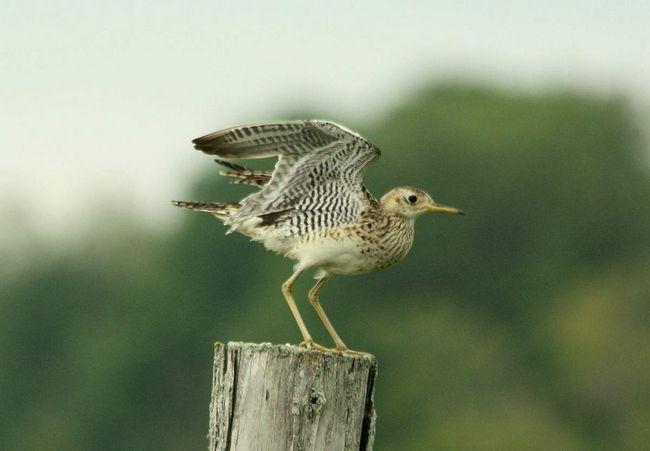 Бартрамия гнездится на низкотравных лугах, в прериях и на травянистых болотах.