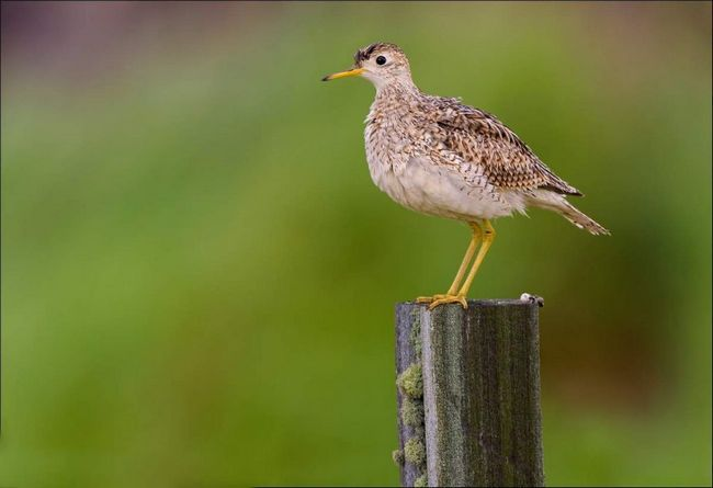 Большую часть добычи птицы собирают на поверхности земли.