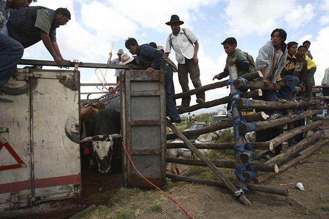 Borbe petlova i borbe s bikovima u Ekvadoru