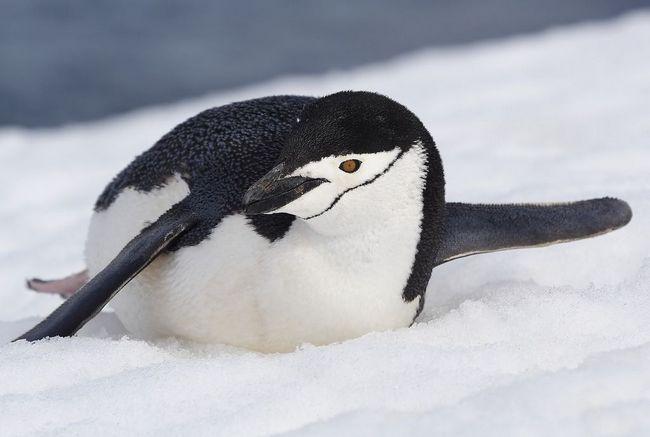 Пингвины потеряли способность различать большую часть вкусов
