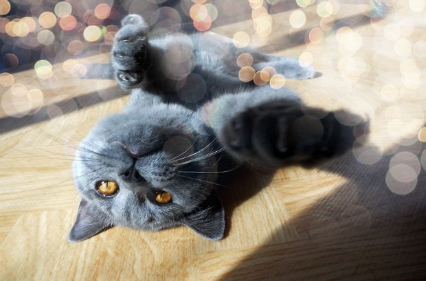 Osnove obrazovanja britanskih mačaka (Dio 2)