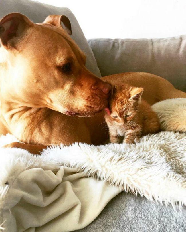 Briga Bubba kitty lizanje.