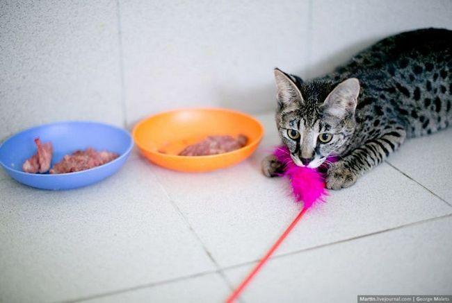 Uzgajivačnica divlje afričke mačke mačka uzgajivačnice