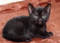 Bombay mačka uzgajivačnica