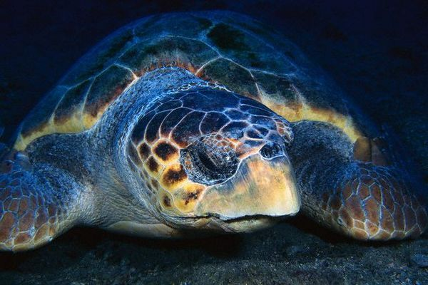 Pacific kornjača stanovnika smanjen za najmanje 80%. (Foto Frank Burek / Corbis).