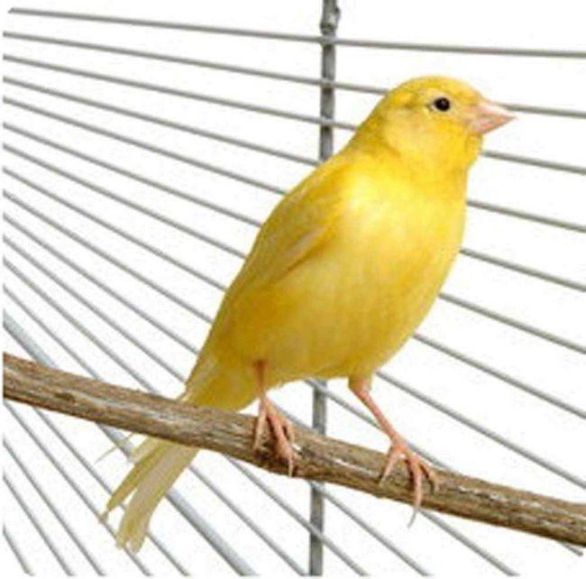 """Canary snadno zkrotit, je věřit, se hodí pro """"vzdělávání"""" a úspěšně množí v domácnosti."""
