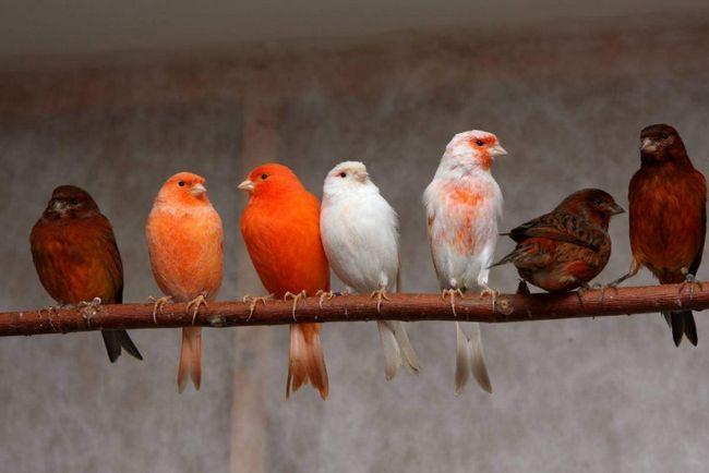 Canaries rád plavat. Koupání čistí pokožku a posiluje peří. Koupání Voda by měla být při pokojové teplotě.
