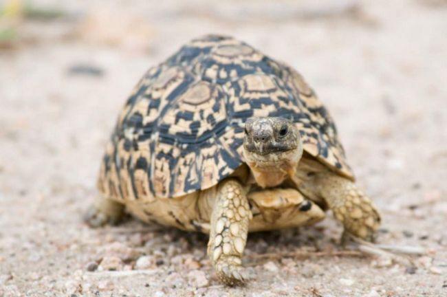 Ohraničený želvy držen v suchých teráriích. Teplota - 25-32 ° C během dne a při teplotě 5-7 ° C nižší než v noci.